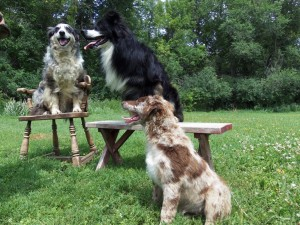 SIT and Stay ..Jade (on chair 10yrs) Thor (on bench)3yrs. Thunder on grass, 4 month old.