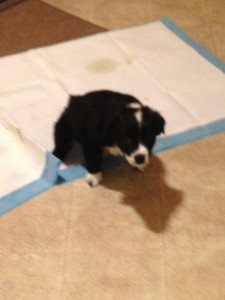 8 weeks old potty trained ( training pads). Later will go outside